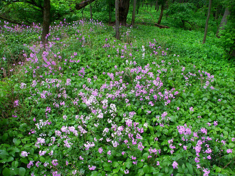 伊利诺伊森林野花风景 免版税库存图片