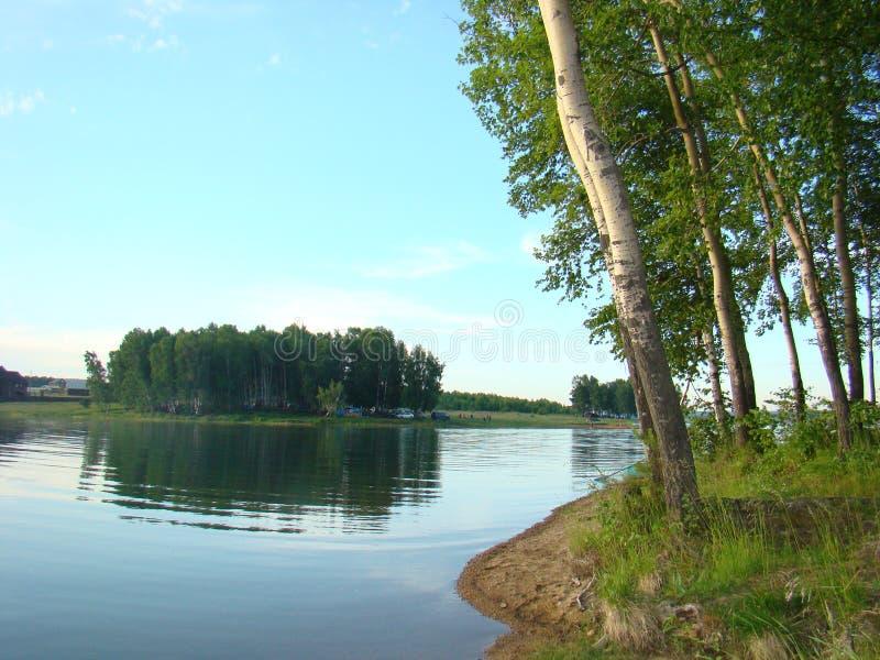 伊尔库次克水库的岸的桦树树丛 免版税图库摄影