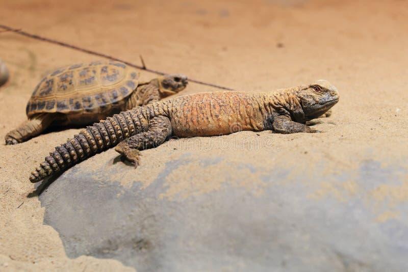 伊拉克人多刺被盯梢的蜥蜴 库存照片