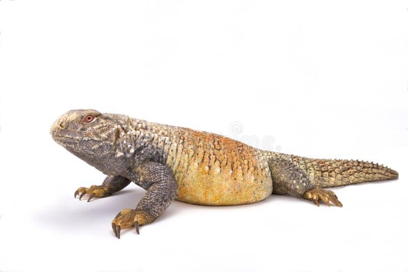 伊拉克人多刺被盯梢的蜥蜴(Saara有甲类) 免版税库存照片