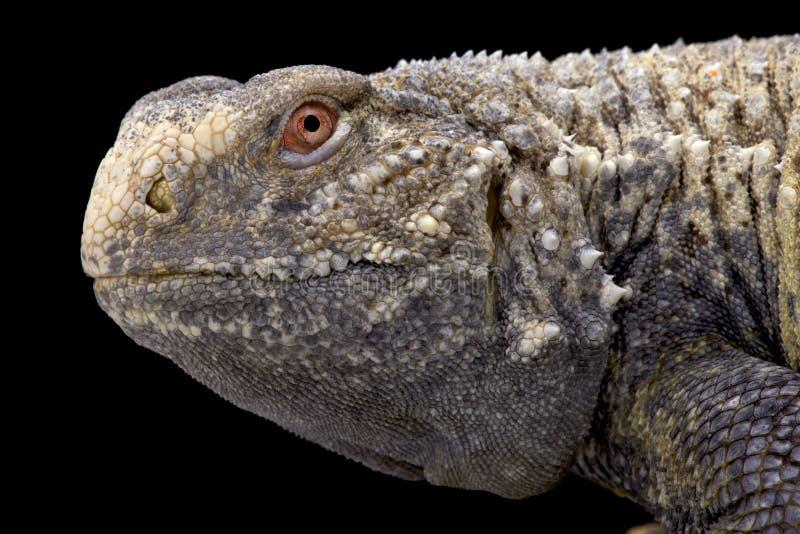 伊拉克人多刺被盯梢的蜥蜴(Saara有甲类) 免版税库存图片