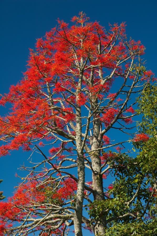 伊拉瓦拉槭叶瓶木短石鳖acerifolium 库存照片