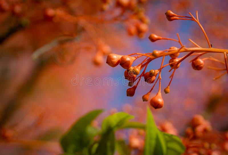 伊拉瓦拉槭叶瓶木红色花 免版税库存照片