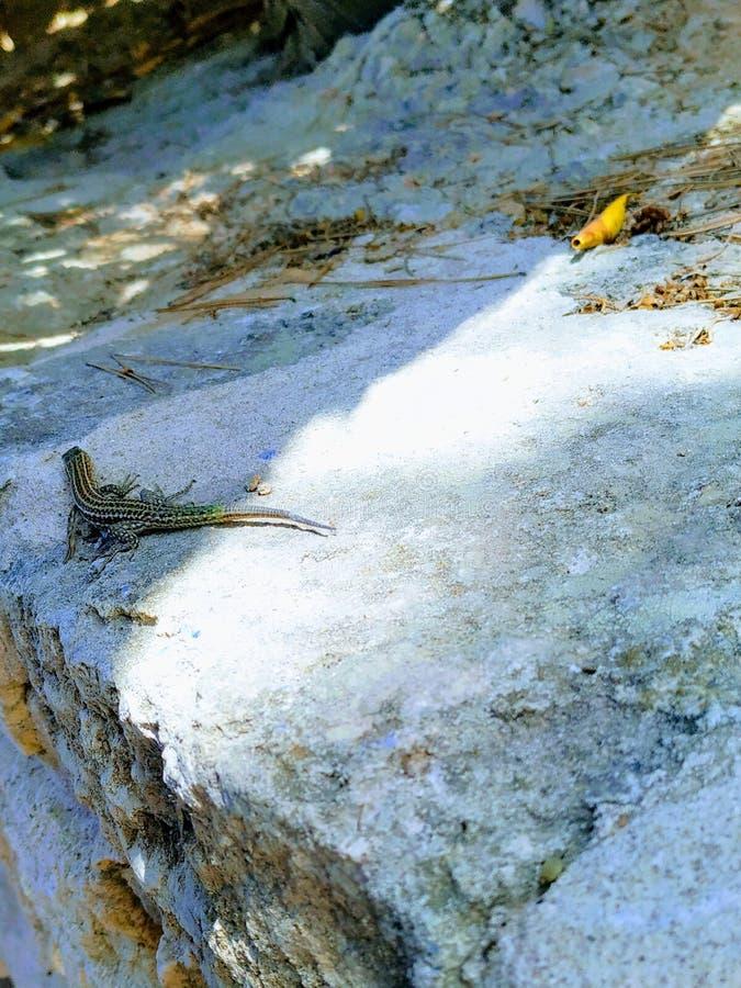 伊维萨岛鬣鳞蜥 库存图片