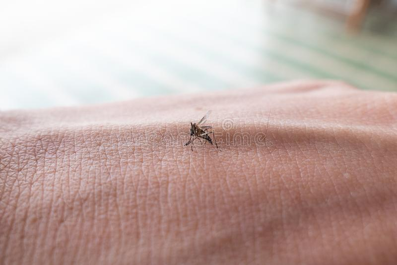 伊蚊属蚊子吮在皮肤的人血 免版税图库摄影