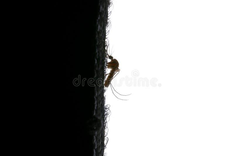 伊蚊属aegypti蚊子 关闭蚊子吮的人血 库存图片