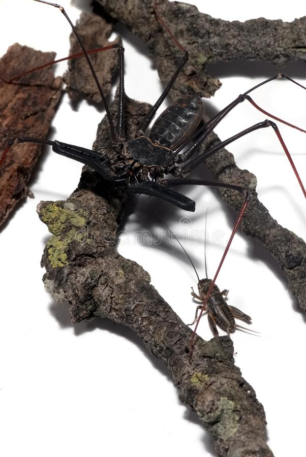 伏击蟋蟀的上部的看法amblipigys的 库存图片