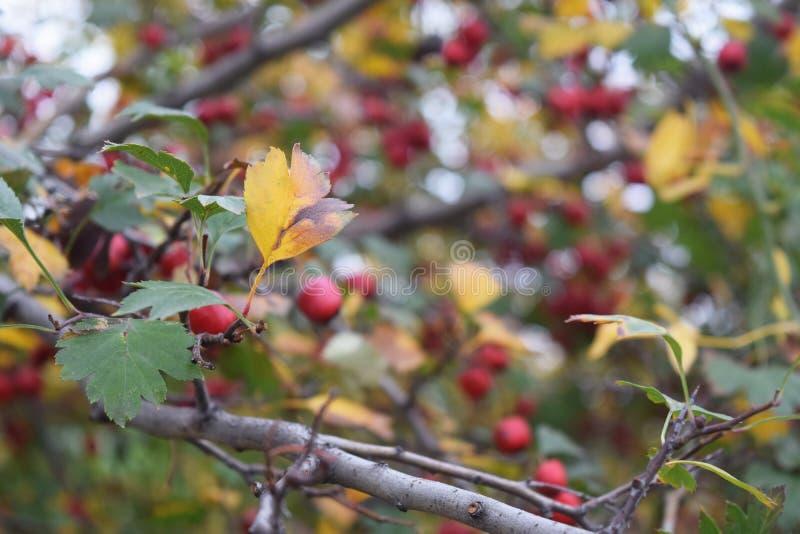 伏牛花分支新鲜的成熟莓果自然绿色背景 库存图片