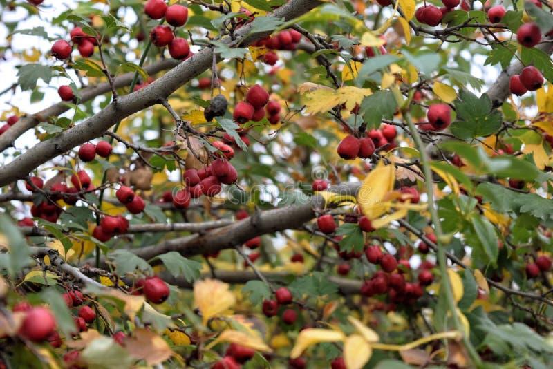 伏牛花分支新鲜的成熟莓果自然绿色背景 免版税库存图片