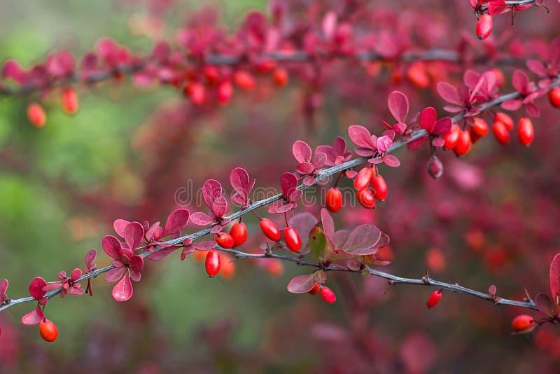 伏牛花小蘖属寻常的分支新鲜的成熟莓果自然绿色背景小蘖属thunbergii拉丁小蘖属Coronita巴勃 图库摄影