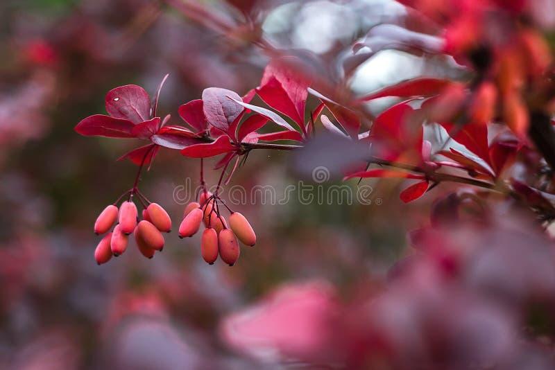 伏牛花小蘖属寻常的分支新鲜的成熟莓果自然绿色背景小蘖属thunbergii拉丁小蘖属Coronita巴勃 免版税图库摄影