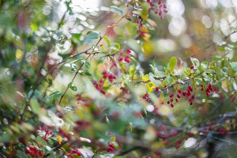 伏牛花小蘖属寻常的分支新鲜的成熟莓果自然g 免版税库存照片