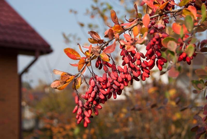 伏牛花小蘖属寻常的分支有新成熟自然莓果背景 免版税库存照片