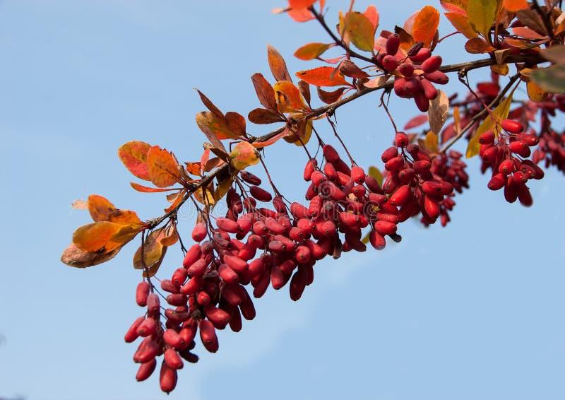 伏牛花小蘖属寻常的分支用在天空蔚蓝背景的自然新鲜的成熟莓果 免版税库存照片