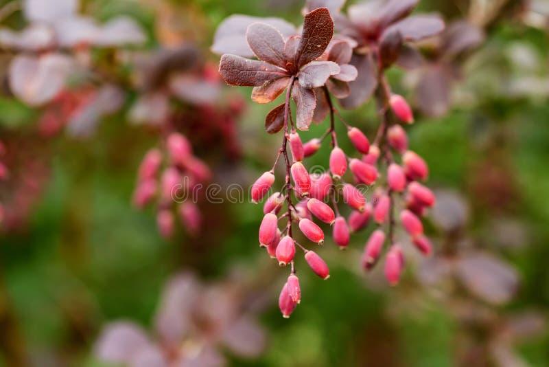 伏牛花或小蘖属寻常的分支用莓果 免版税库存图片