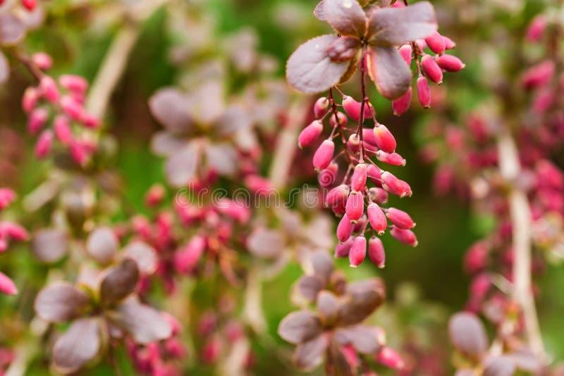 伏牛花或小蘖属寻常的分支用莓果 库存照片