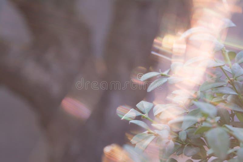 伏牛花花灌木在庭院户外选择聚焦离开紧密  免版税库存照片