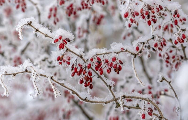 伏牛花莓果  在分支的伏牛花 在霜的伏牛花在分支 背景蓝色雪花白色冬天 库存图片