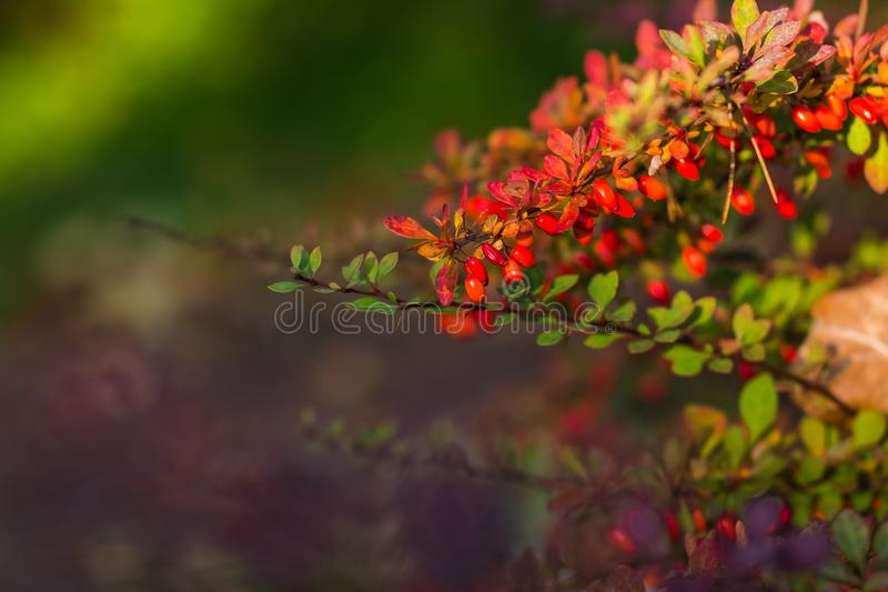 伏牛花,寻常的小蘖属,分支新鲜的成熟莓果,自然绿色背景 小蘖属thunbergii,拉丁小蘖属 库存图片