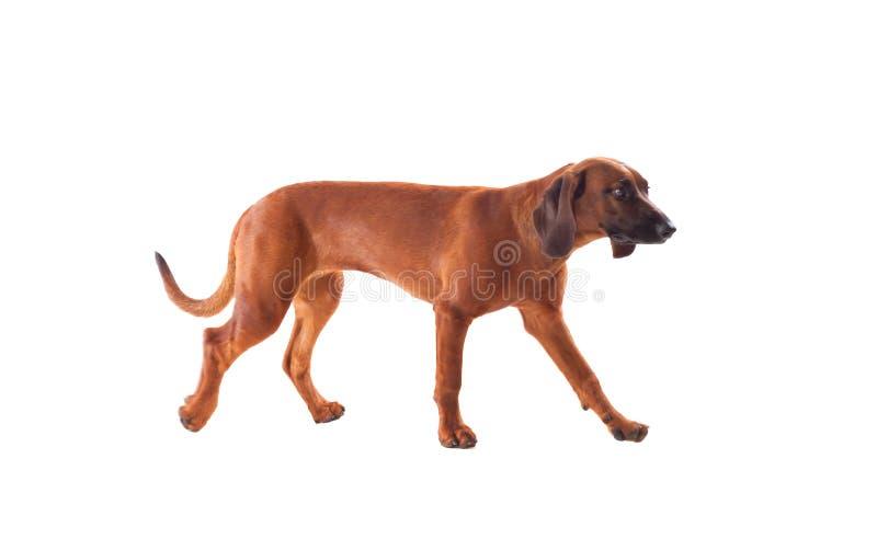 巴伐利亚人布朗猎犬  免版税库存照片