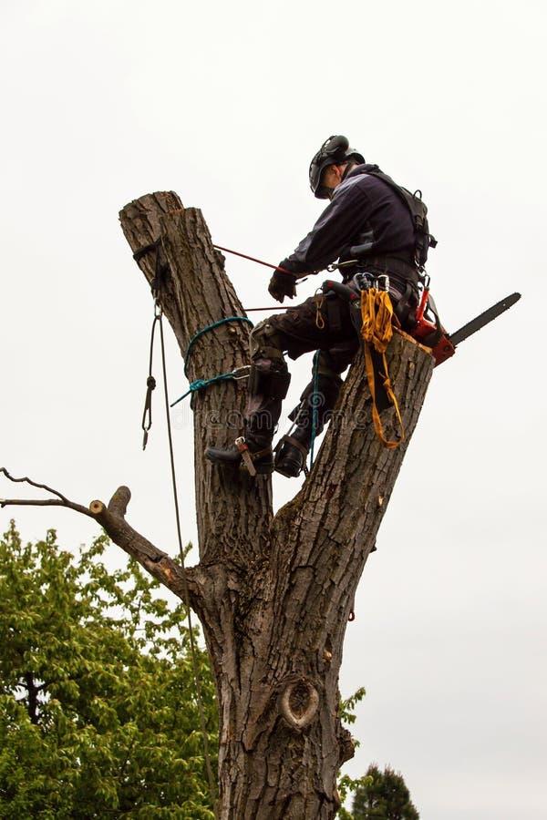 伐木工人与看见了和鞔具修剪树 在老核桃树的树木栽培家工作 库存照片