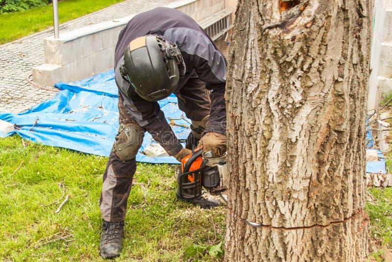 伐木工人切开锯 砍一棵大树的专业伐木工人在庭院里 免版税库存照片