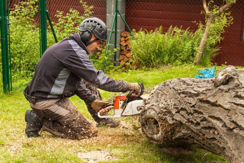 伐木工人切开锯 砍一棵大树的专业伐木工人在庭院里 库存图片