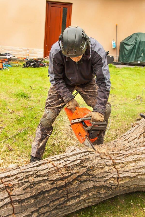 伐木工人切开锯 砍一棵大树的专业伐木工人在庭院里 库存照片