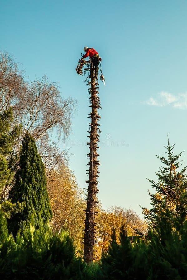 伐木工人在一棵高杉木顶部 免版税库存照片