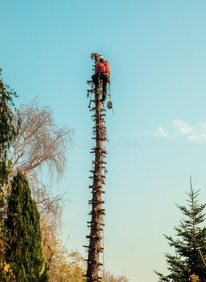 伐木工人在一棵高杉木顶部 图库摄影