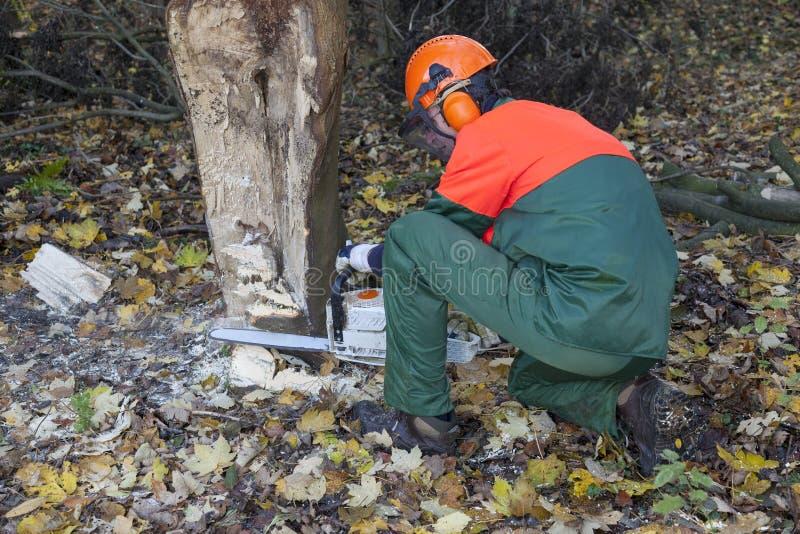 伐木工人在工作 图库摄影