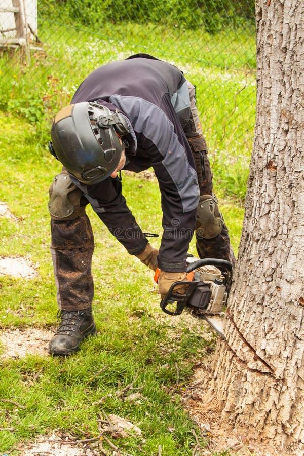 伐木工人砍老核桃树 从锯的工作 加热的木准备 免版税图库摄影