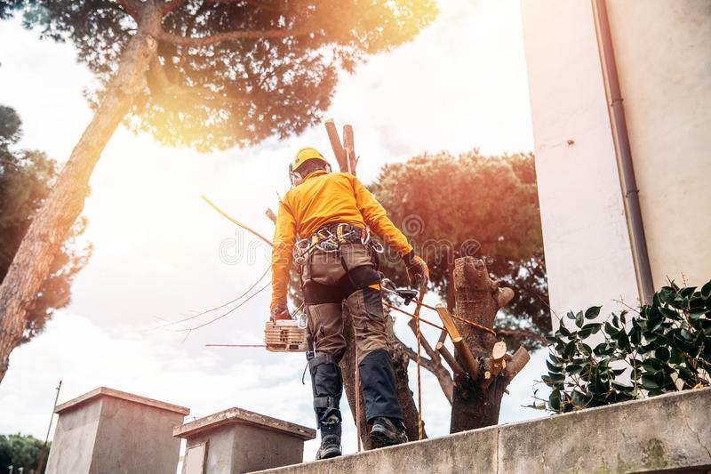 伐木工人锯与锯的树在锯木厂 概念在飓风以后切开了腐烂和老日志 免版税库存照片