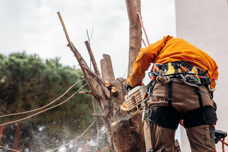 伐木工人锯与锯的树在锯木厂 概念在飓风以后切开了腐烂和老日志 库存照片