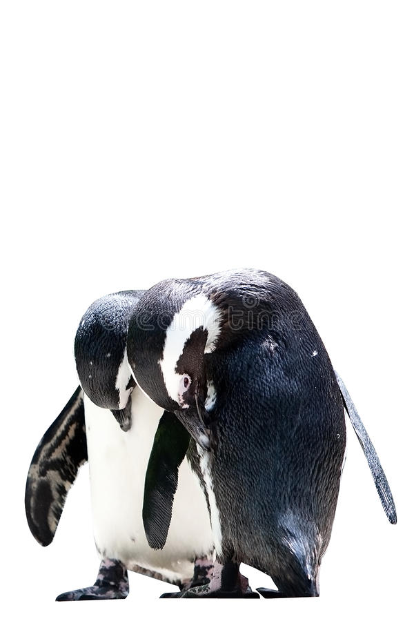 休息二的humboldt企鹅 免版税库存照片