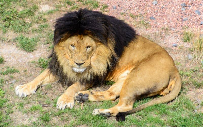 休息亚洲邮件的狮子在阳光下 库存图片
