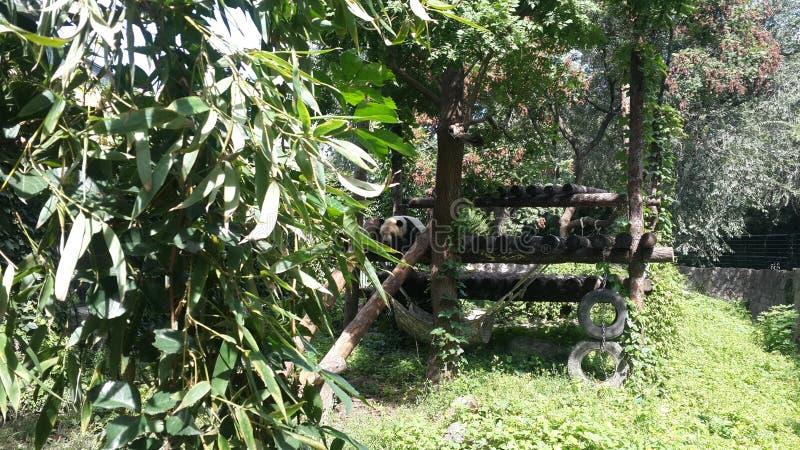 休息在他的议院里的熊猫` s在北京,中国 免版税库存照片
