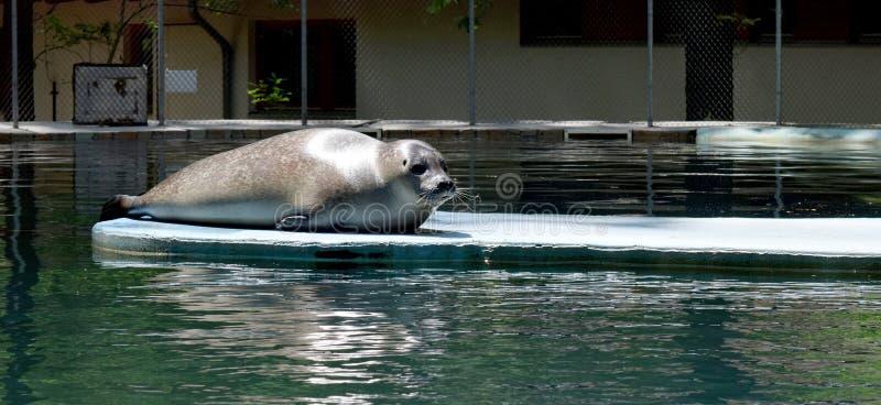 休息在动物园水池的封印 免版税图库摄影