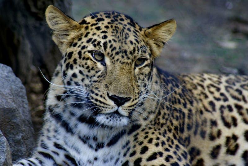 休息在囚禁的远东豹子 免版税图库摄影