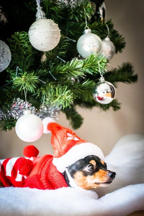 休息在圣诞树下的微型短毛猎犬 免版税库存图片