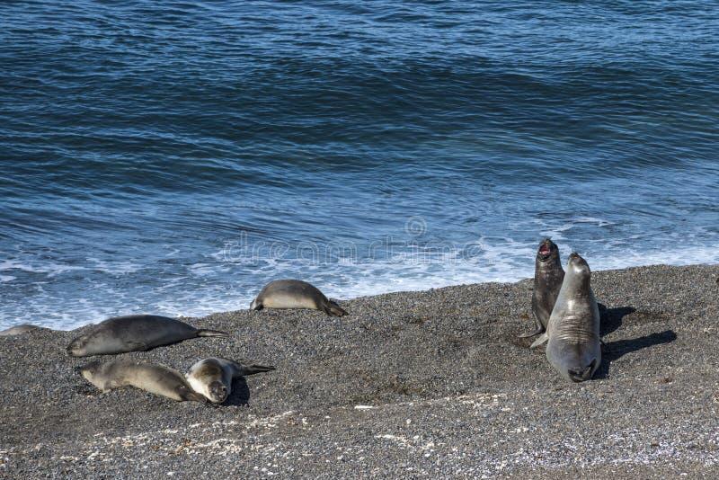 休息在太阳,巴塔哥尼亚下的海狮 免版税图库摄影