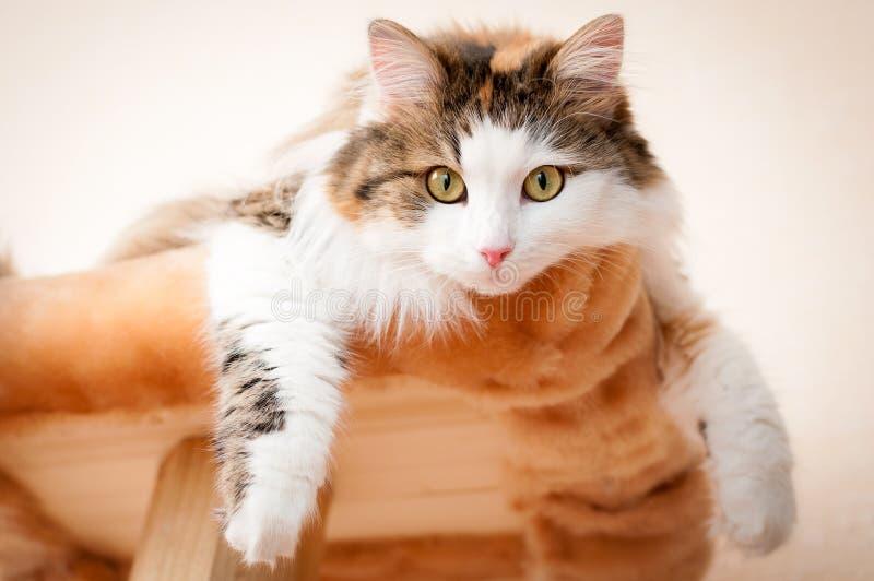 休息在明亮的阳光下的毛茸,红色猫 免版税图库摄影