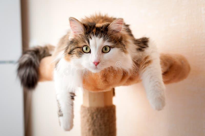 休息在明亮的阳光下的毛茸,红色猫 免版税库存照片