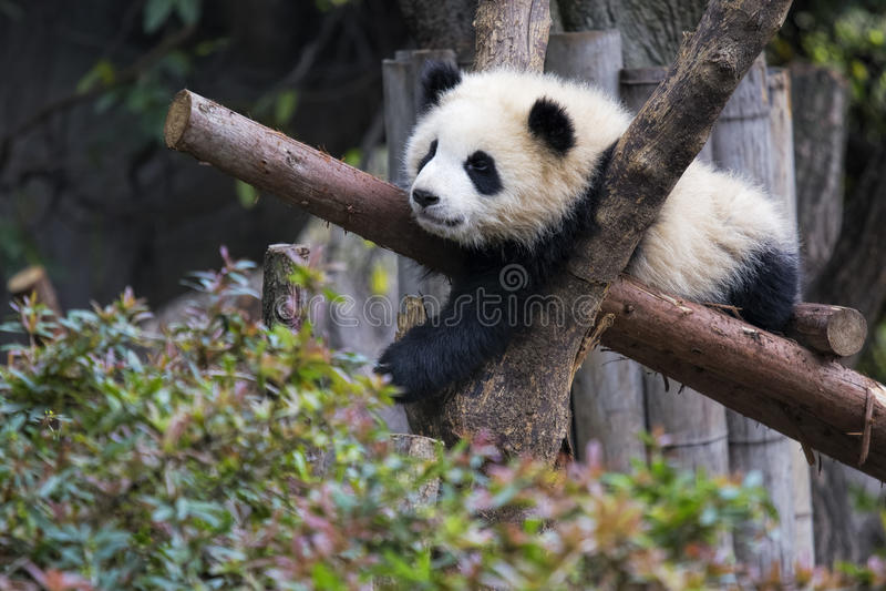 休息在树成都,中国的婴孩大熊猫 免版税图库摄影