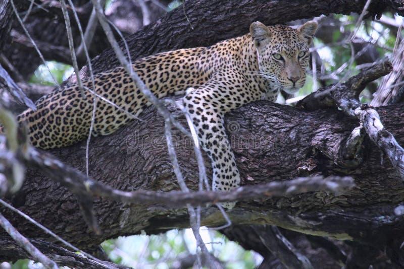 休息在树的豹子 免版税库存照片