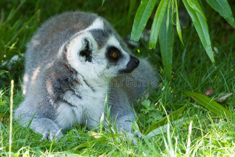 休息在树荫下的环纹尾的狐猴 免版税库存图片