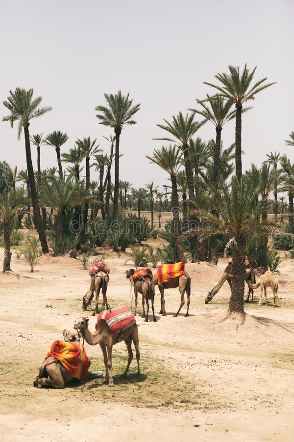 休息在棕榈树旁边的骆驼在马拉喀什,摩洛哥 图库摄影
