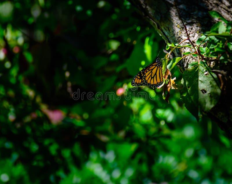 休息在森林地公园的黑脉金斑蝶 图库摄影