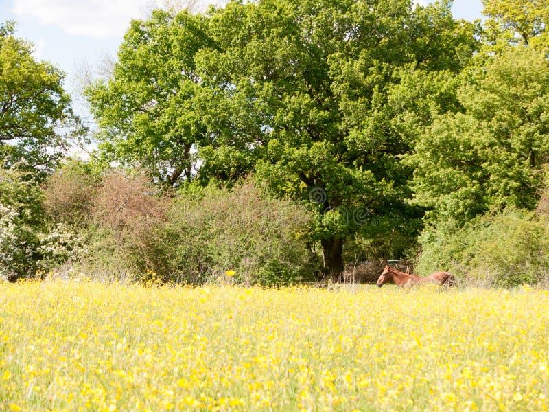 休息在毛茛的夏天领域的一匹棕色马在英国之外的 库存照片