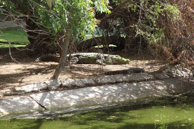 休息在水附近的沼泽鳄鱼 免版税图库摄影